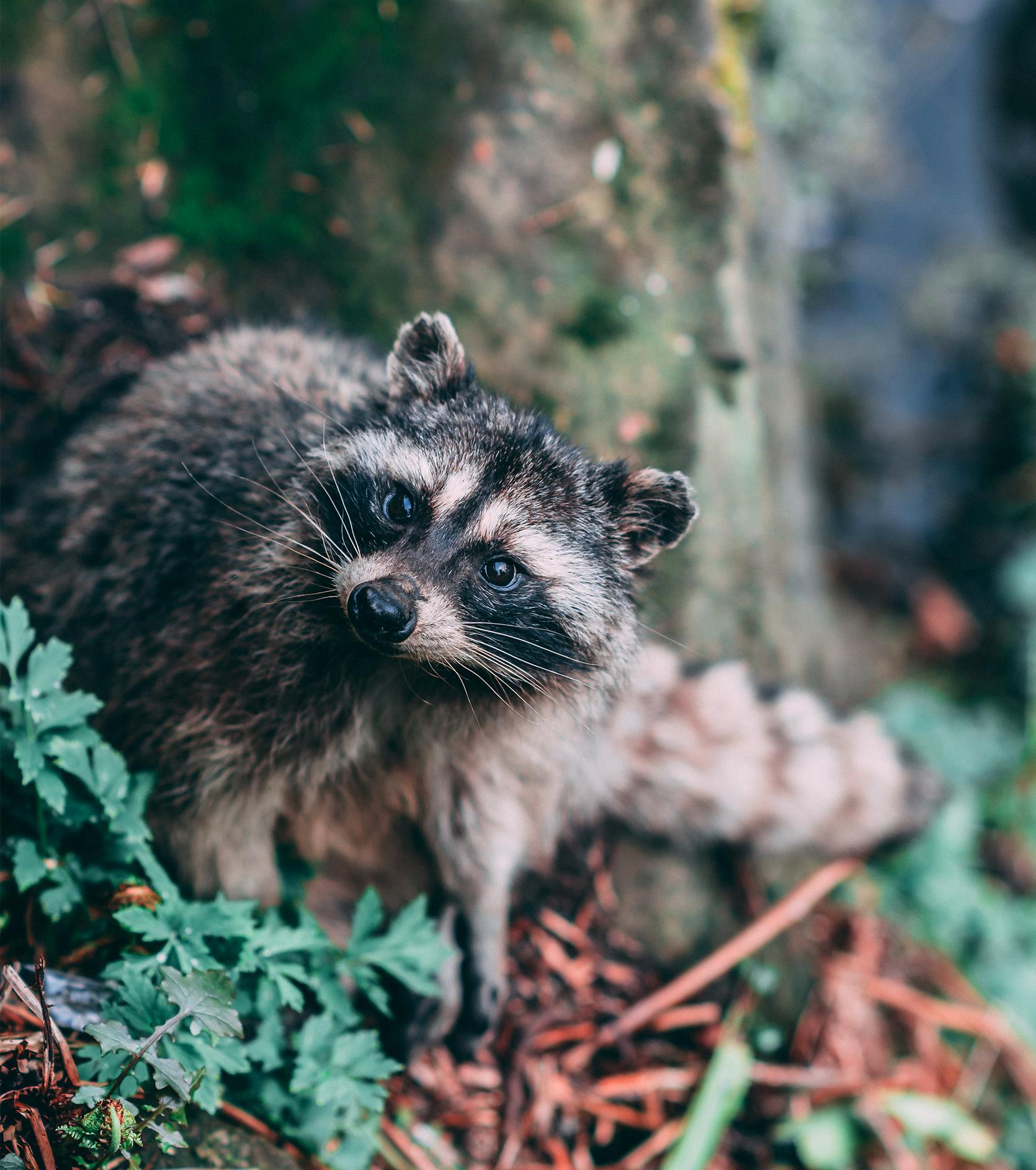 StanleyPark_Moodboards_raccoon
